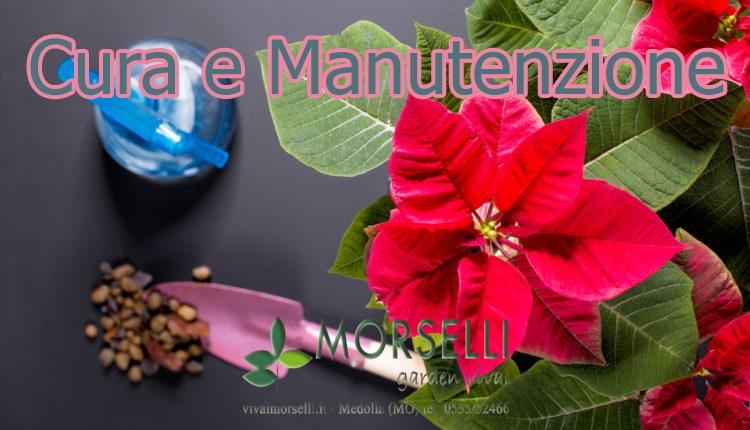 Stella Di Natale Cura E Manutenzione.Vivai Morselli Giardinaggio Modena Vivaio Modena Giardiniere