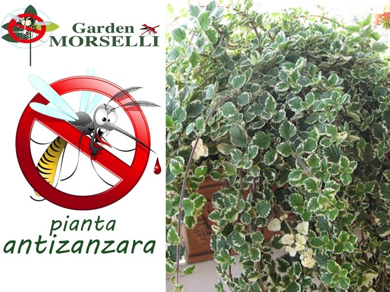 Piante Da Appartamento E Per Esterno Contro Le Zanzare.5 Piante Anti Zanzare Garden Vivai Morselli Modena